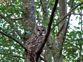 Barred Owl 004 - Version 2