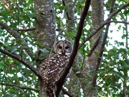 Barred Owl--unbarred neighbor (Highland)