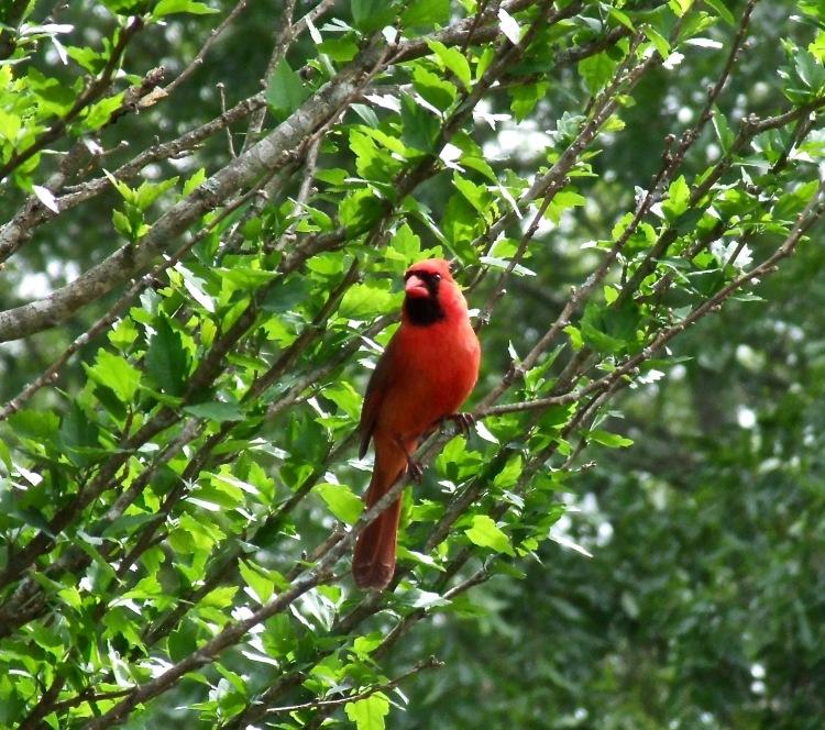 Cardinal-large
