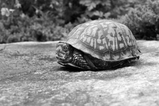 Boxy Turtle