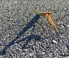 Shadow of Curiosity (Highland)