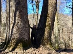 Between giant poplars