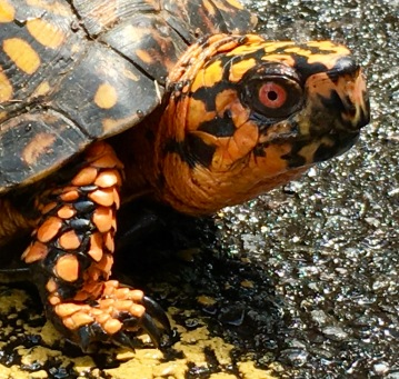 Beaverdam boxturtle – Version 4