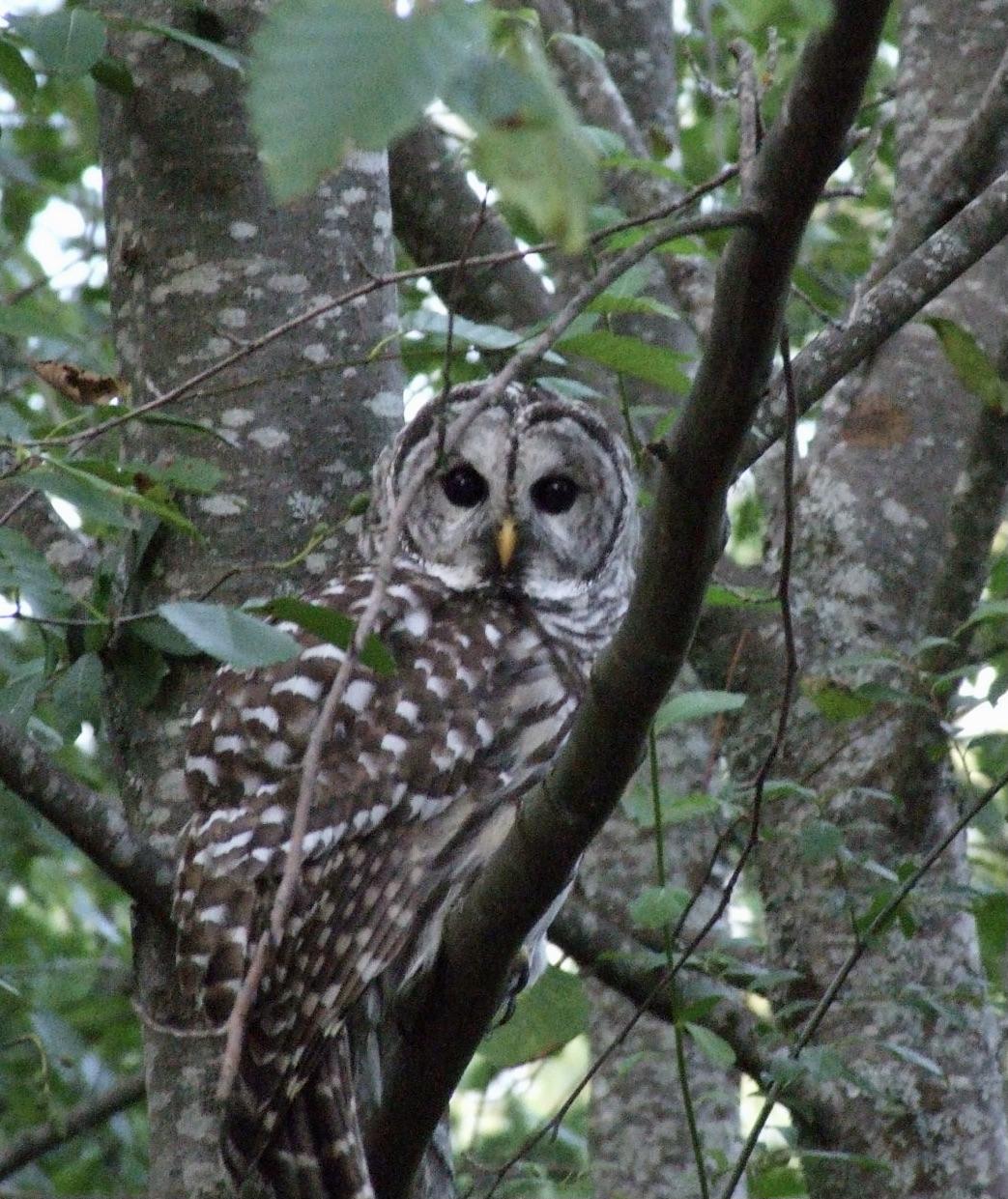 True Owl Story