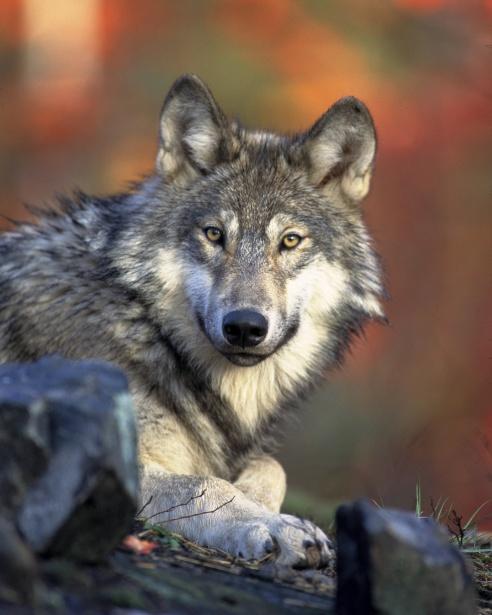 Big Bad Wolf?